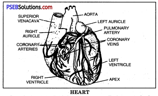 PSEB 10th Class Physical Education Solutions Chapter 1 Effects of Exercise on Respiratory System, Blood Circulation, Muscles and Excretion 10