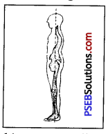 PSEB 7th Class Physical Education Solutions Chapter 3 Posture and Its Deformities 1