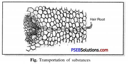 PSEB 7th Class Science Solutions Chapter 11 Transportation in Animals and Plants 3