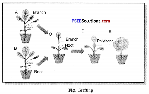 PSEB 7th Class Science Solutions Chapter 12 Reproduction in Plants 7