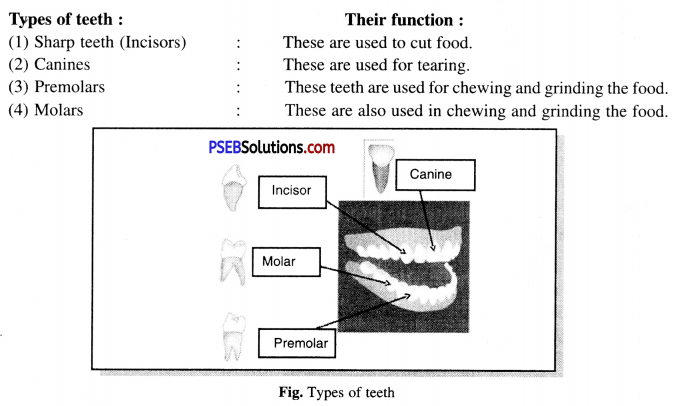 PSEB 7th Class Science Solutions Chapter 2 Nutrition in Animals 2