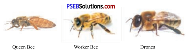 PSEB 8th Class Agriculture Solutions Chapter 6 BeeKeeping 1