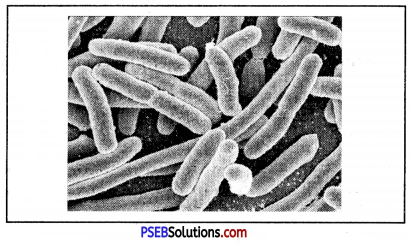 PSEB 8th Class Science Solutions Chapter 2 Microorganisms Friend and Foe 1