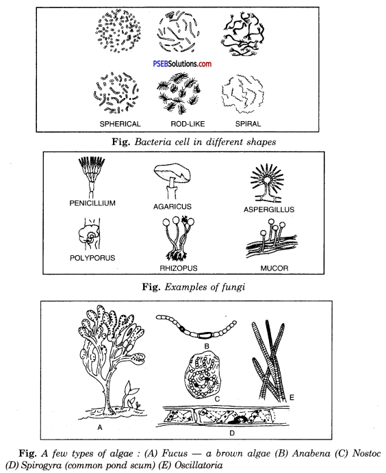 PSEB 8th Class Science Solutions Chapter 2 Microorganisms Friend and Foe 9