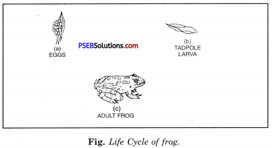 PSEB 8th Class Science Solutions Chapter 9 Reproduction in Animals 5
