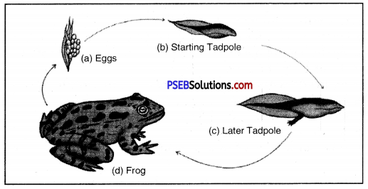 PSEB 8th Class Science Solutions Chapter 9 Reproduction in Animals 9
